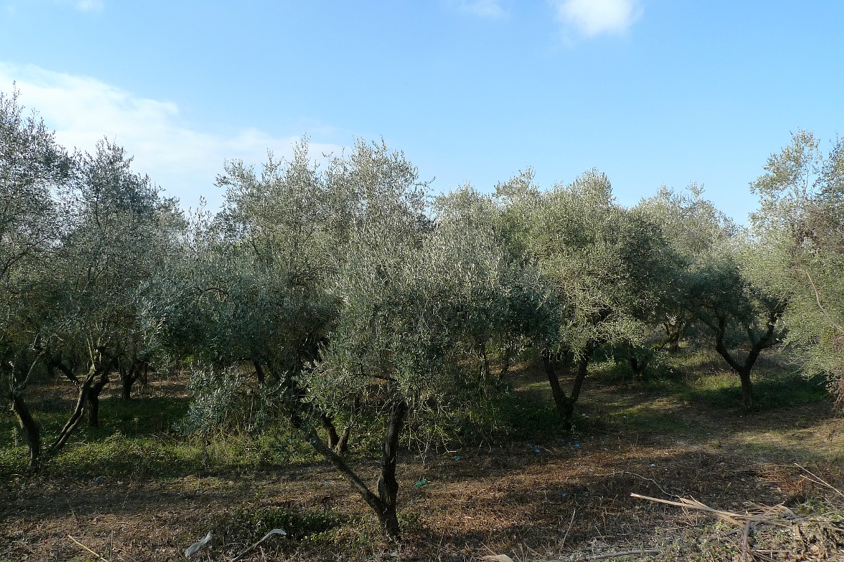 Ancient farmhouse for sale 6 ha of land 1600 olive trees for Olive trees for sale